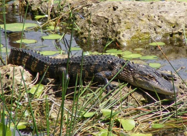 missisipskij-alligator-on-zhe-shhuchij-alligator-animal-reader.-ru-.-005-1024x746.jpg