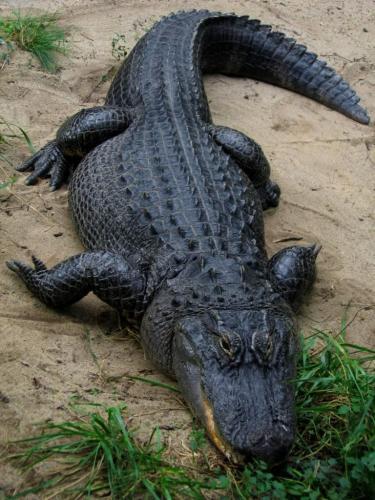 missisipskij-alligator-on-zhe-shhuchij-alligator-animal-reader.-ru-.-003-768x1024.jpg
