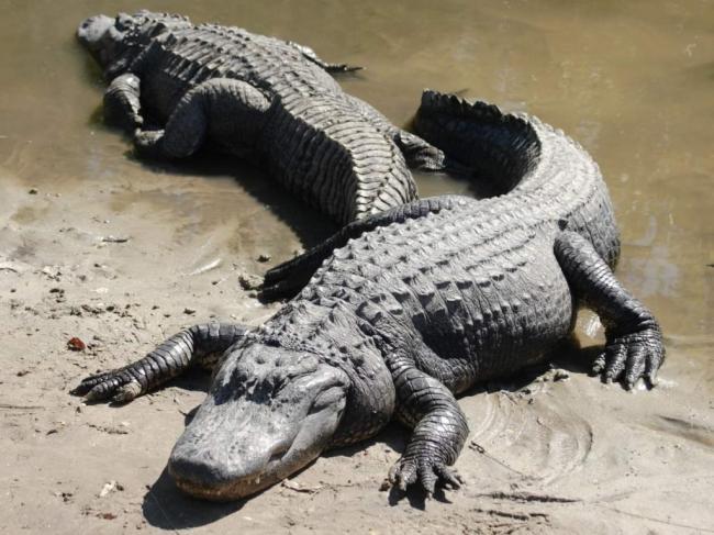 missisipskij-alligator-on-zhe-shhuchij-alligator-animal-reader.-ru-.-006-1024x768.jpg