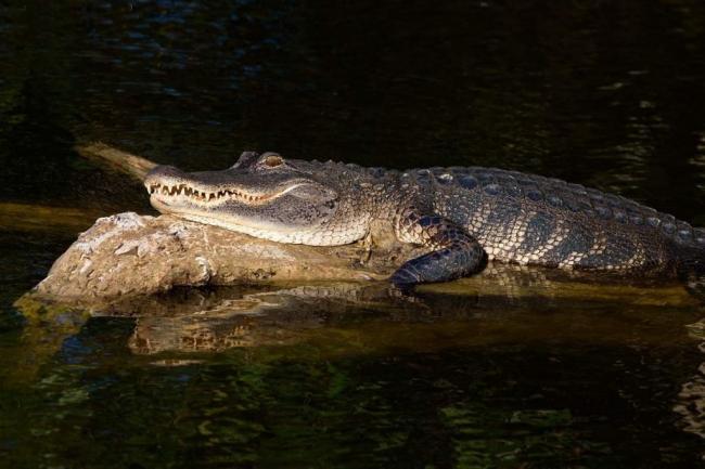 missisipskij-alligator-on-zhe-shhuchij-alligator-animal-reader.-ru-.-007-1024x683.jpg