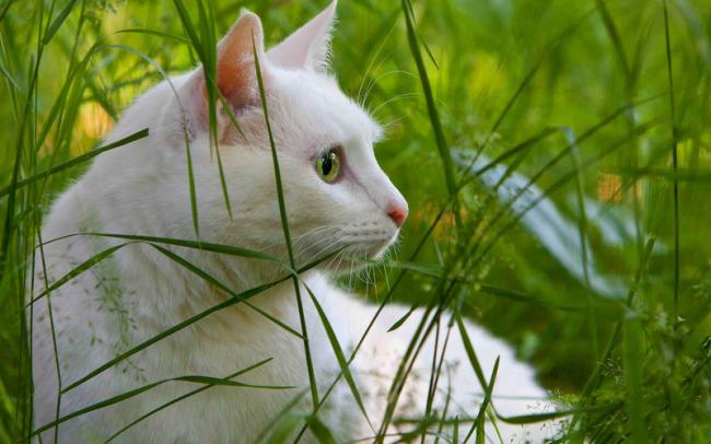 Белый кот с зелеными глазами