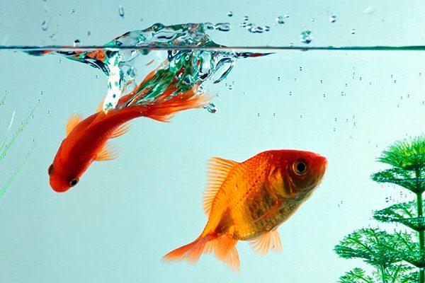 zolotye-rybki.jpg