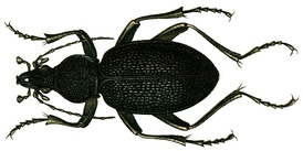 274px-Procerus_caucasicus_from_Jacobson.jpg