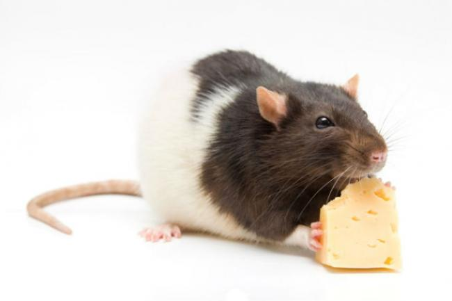food for the home rats.jpg