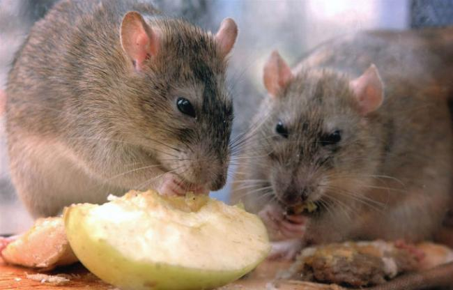 food%20for%20the%20home%20rats2.jpg