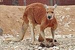 150px-Red_kangaroo_-_melbourne_zoo.jpg