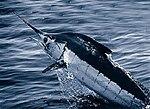 150px-Atlantic_blue_marlin.jpg