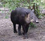 150px-Central_American_Tapir-Belize20.jpg