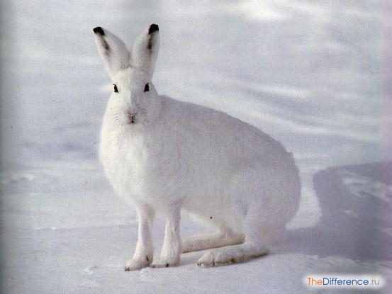 Заяц-беляк.jpg
