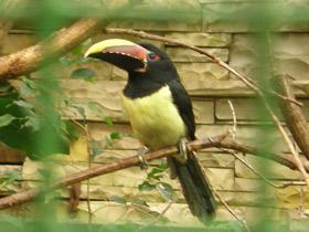 pteroglossus-viridis_small_01.jpg