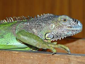 iguana-iguana_small_01.jpg