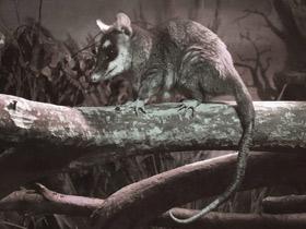philander-opossum_small_01.jpg
