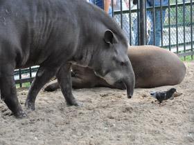 tapirus-terrestris_small_01.jpg