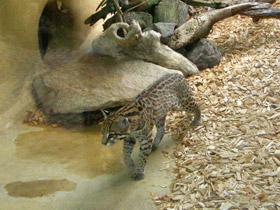 leopardus-pardalis_small_01.jpg