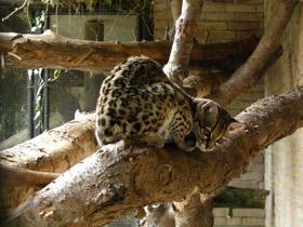 leopardus-wiedii_small_01.jpg