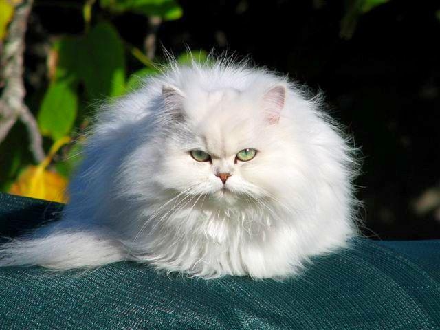 Chinchilla_cat_20.jpg