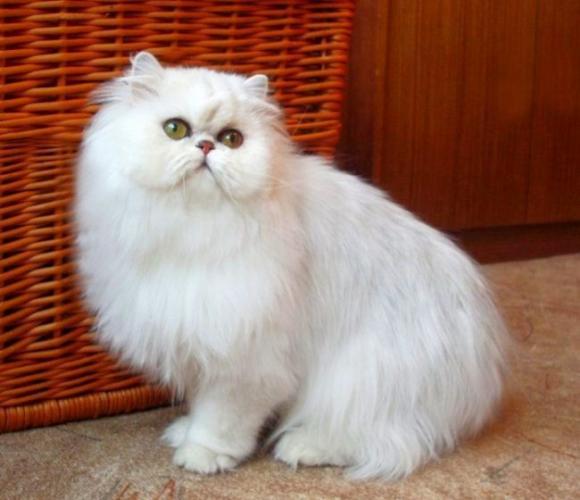 Chinchilla_cat_18-650x560.jpg