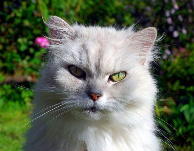 Chinchilla_cat_13-650x505.jpg