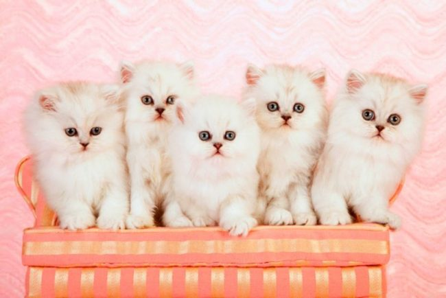 Chinchilla_cat_17-650x434.jpg