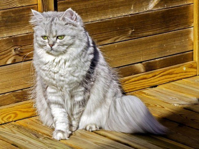 Chinchilla_cat_04-650x488.jpg