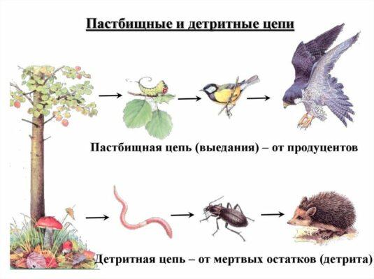 pastbishchnye-i-detritnye-cepi-e1603128759197.jpg