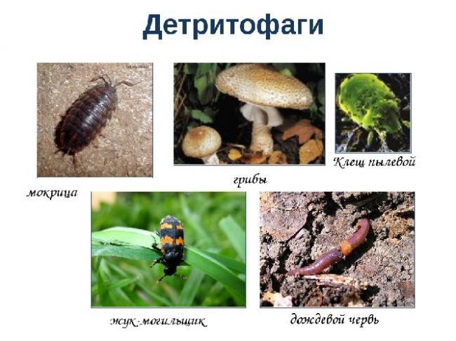biologiya-45124-detritofagi.jpg