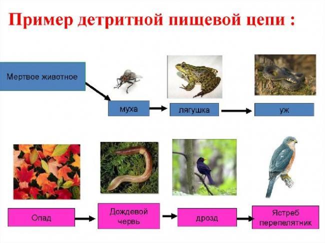biologiya-45124-primery-detritnoy-cepi.jpg