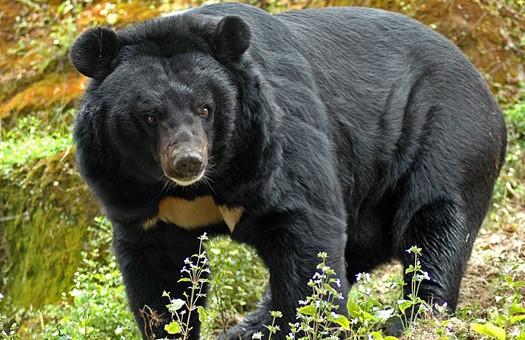 Gimalajskij-medved.jpg