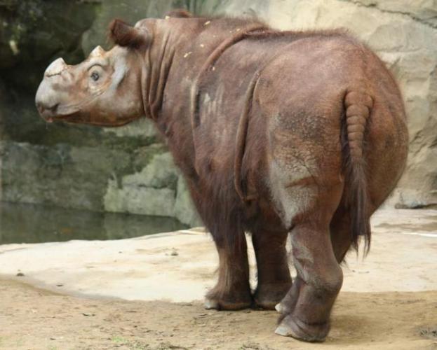 sumatranskij-nosorog-animal-reader.ru_.jpg