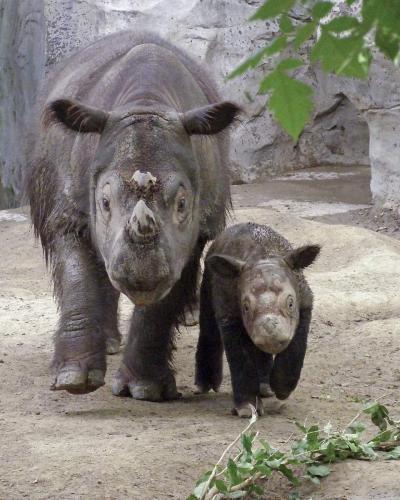 sumatranskij-nosorog-animal-reader.ru-001.jpg