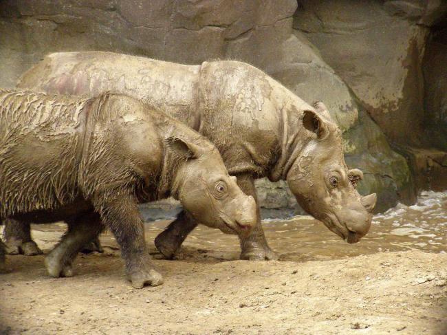 sumatranskij-nosorog-animal-reader.ru-002.jpg