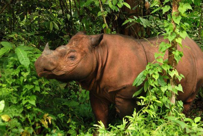 sumatranskij-nosorog-animal-reader.ru-003.jpg