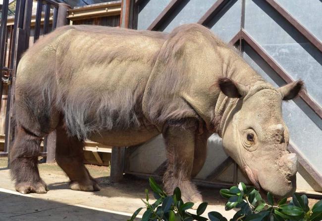 sumatranskij-nosorog-animal-reader.ru-004.jpg