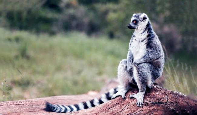 lemur-katta-na-kamne.jpg
