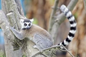 coshachii_lemur-300x198.jpg