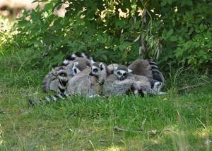 lemur_semya-300x214.jpg