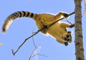 cosh_lemur_obana-300x209.jpg