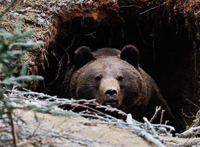 Medved-vyglyadyvaet-iz-berlogi-816x600.jpg