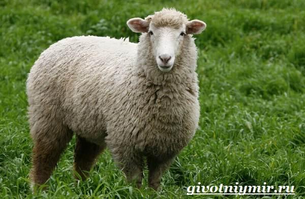 ovca-zhivotnoe-obraz-zhizni-i-sreda-obitaniya-ovcy-2.jpg