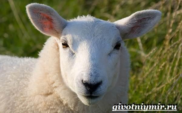 ovca-zhivotnoe-obraz-zhizni-i-sreda-obitaniya-ovcy-3.jpg