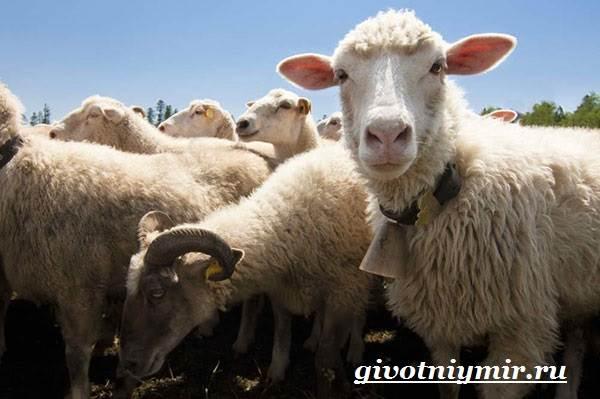 ovca-zhivotnoe-obraz-zhizni-i-sreda-obitaniya-ovcy-4.jpg