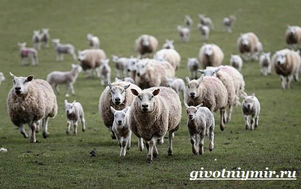 ovca-zhivotnoe-obraz-zhizni-i-sreda-obitaniya-ovcy-6.jpg