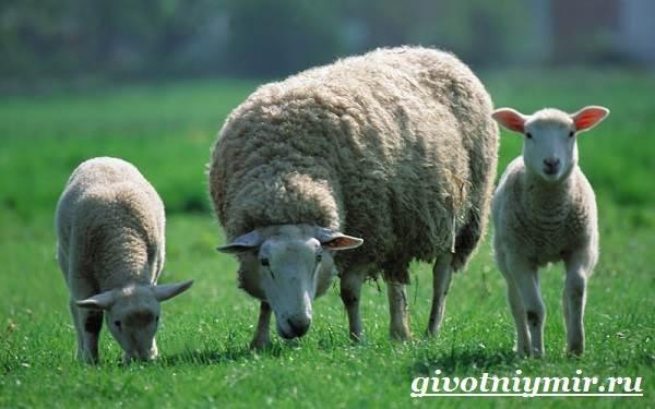 ovca-zhivotnoe-obraz-zhizni-i-sreda-obitaniya-ovcy-5.jpg