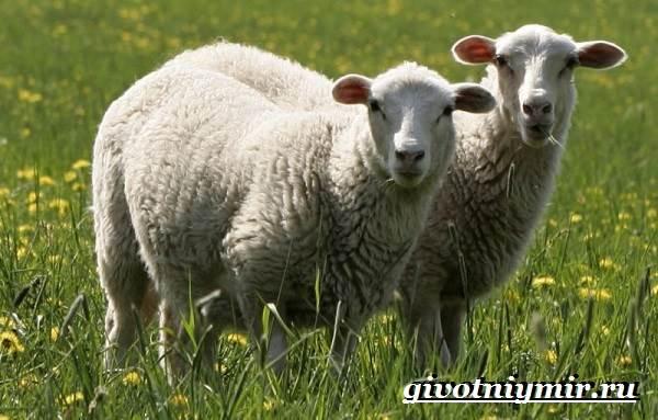 ovca-zhivotnoe-obraz-zhizni-i-sreda-obitaniya-ovcy-7.jpg
