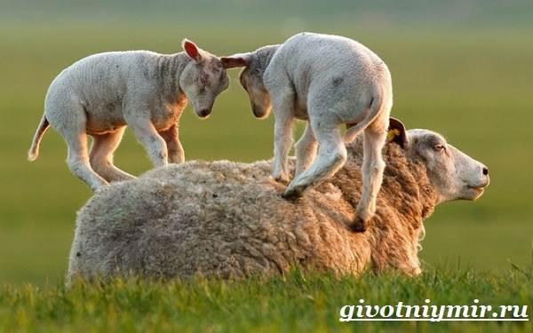 ovca-zhivotnoe-obraz-zhizni-i-sreda-obitaniya-ovcy-9.jpg