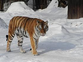 panthera-tigris-altaica_small_01.jpg