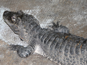 alligator-sinensis_small_01.jpg