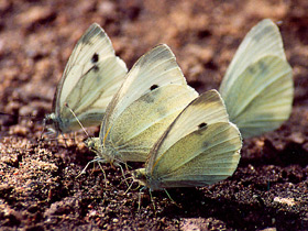 pieris-brassicae_small_01.jpg