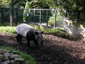 tapirus-indicus_small_01.jpg