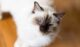 sacred-birman-cat-3-80x47.jpg